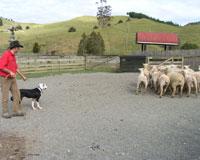 シープランド/牧羊犬と羊のショー