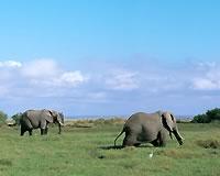 アフリカ象(イメージ)